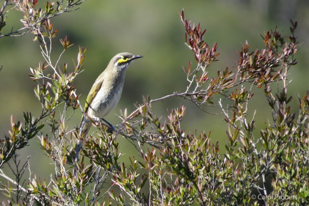 Yellow-faced Honeyeater in Leptospermum