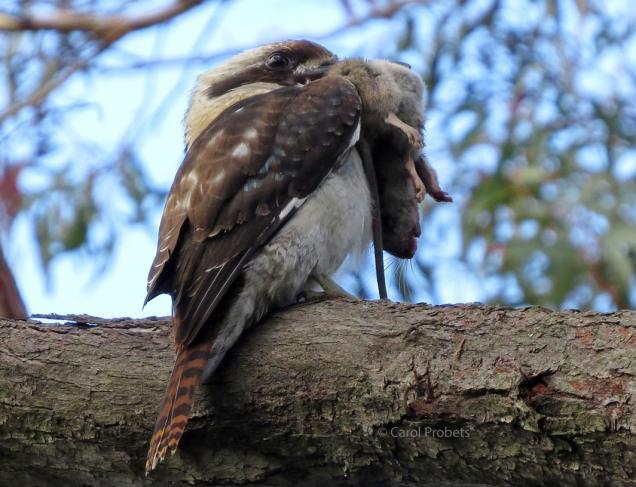 Kookaburra with rat 1023